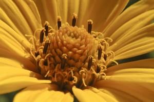 Heliopsis