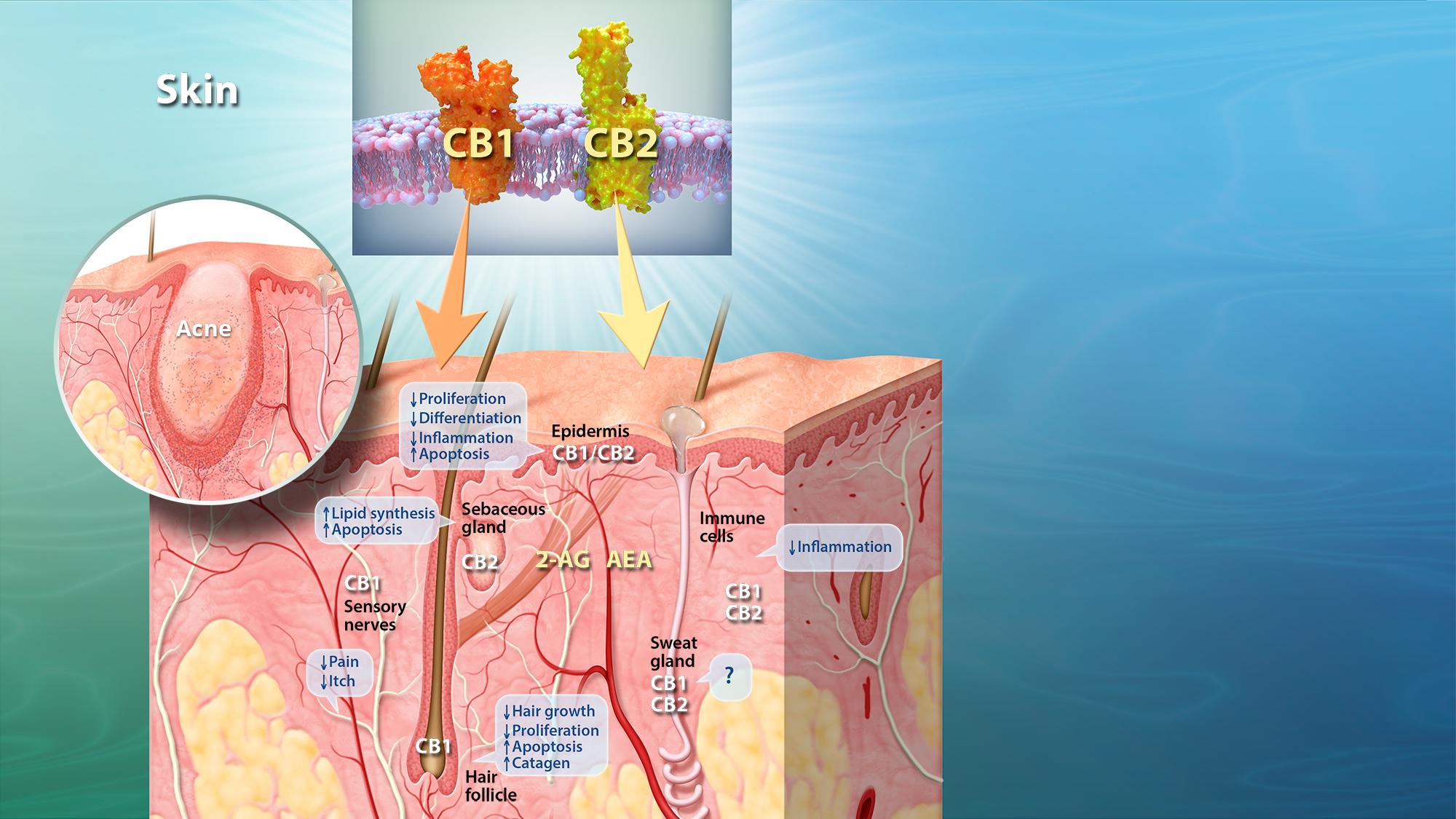 The Ecs In Skin Phytecs
